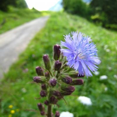 Cicerbita alpina, Bild