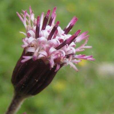 Homogyne alpina, Bild