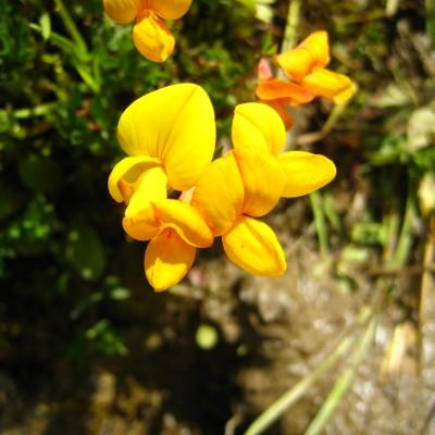 Lotus corniculatus, Bild