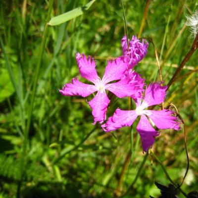 Dianthus carthusianorum, Bild