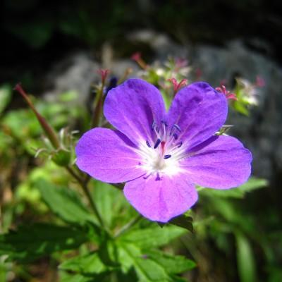 Geranium sylvaticum, Bild