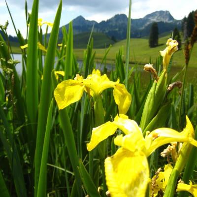 Iris pseudacorus, Bild