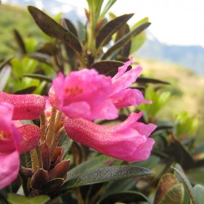 Rhododendron ferrugineum, Bild