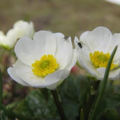 Ranunculus alpestris, Bild