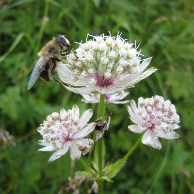 Astrantia major, Bild
