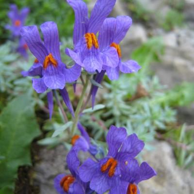 Linaria alpina concolor, Bild