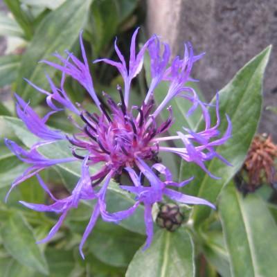 Centaurea montana, Bild