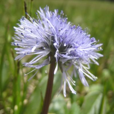 Globularia nudicaulis, Bild