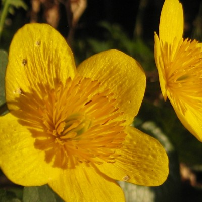 Caltha palustris, Bild