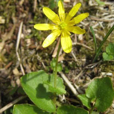 Ranunculus ficaria, Bild