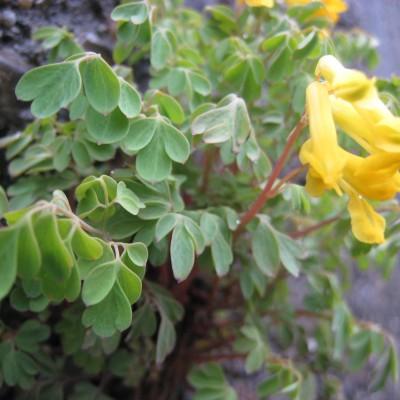 Corydalis lutea, Bild