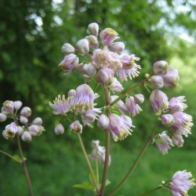 Thalictrum aquilegiifolium, Bild