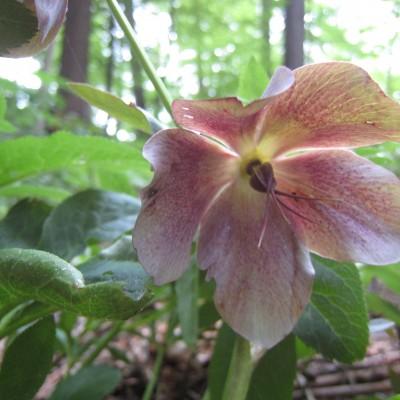 Helleborus purpurascens, Bild