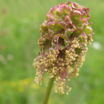 Sanguisorba minor, Bild