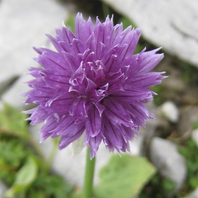 Allium schoenoprasum, Bild