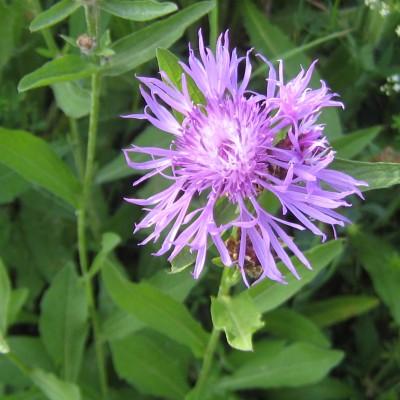 Centaurea jacea, Bild