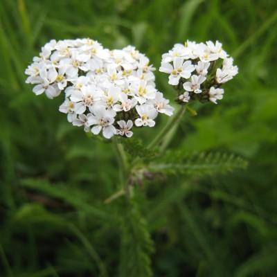 Achillea millefolium, Bild