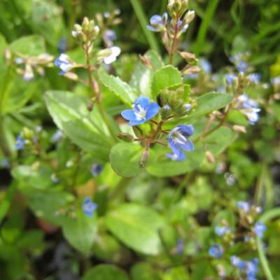 Veronica beccabunga, Bild