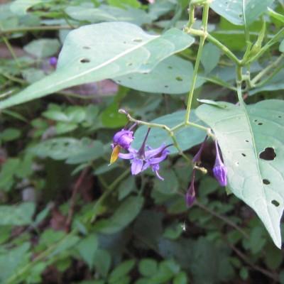 Solanum dulcamara, Bild
