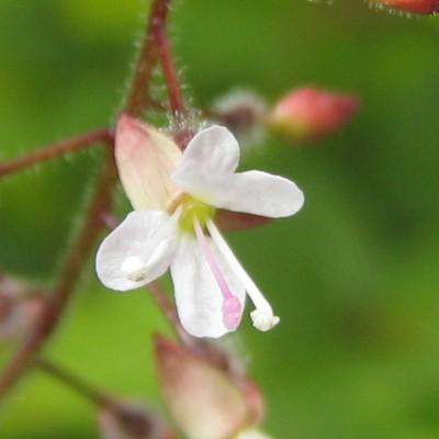 Circaea lutetiana, Bild