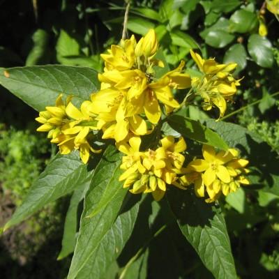 Lysimachia vulgaris, Bild