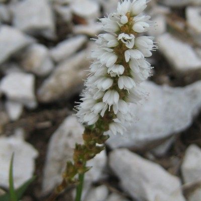 Polygonum viviparum, Bild