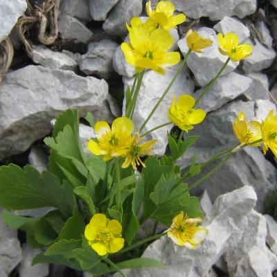 Ranunculus hybridus, Bild